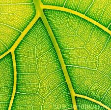 de verfijnde structuur van een blad toont de verbinding zoals de fascie ook alles verbindt